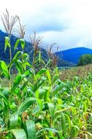 corn field on the mountain photo