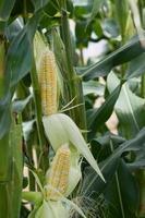 plante de maïs sucré