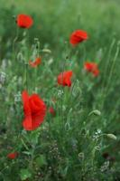 Papaver rhoeas, Corn Poppy