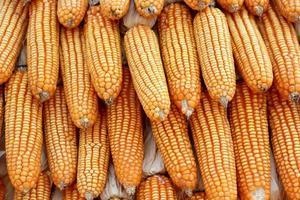 plantas de maiz foto