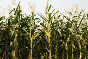 Mais und der Mais frisch