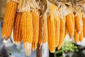 Hanging Dry corn cob . photo