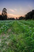 Corn Farm photo