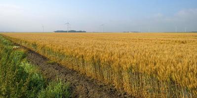 Corn growing on a field in summer photo