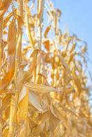 mazorca de maíz en el tallo