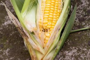 Damaged corn by insects