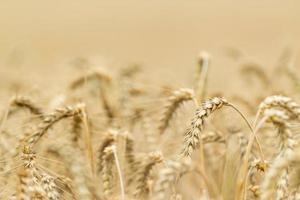 Wheat Field (close-up shot)