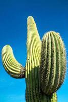 Saguaro Cactus photo