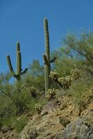 Succulent or cacti varities in Arizona photo