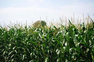 fila de maíz fresco sin recoger. campo de maiz foto