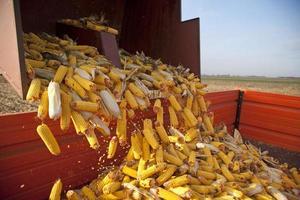 Dumping the corn cobs