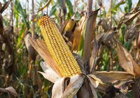maíz en el tallo