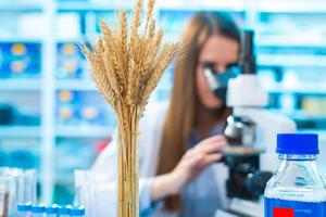 Research wheat crops in the laboratory