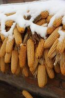 Snow covered corns hanging on the roof in the countryside