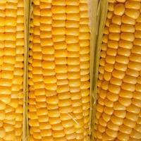 Ripe corn closeup photo