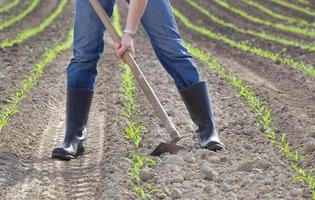 Hoeing corn field photo