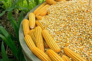 graines de maïs jaune brillant