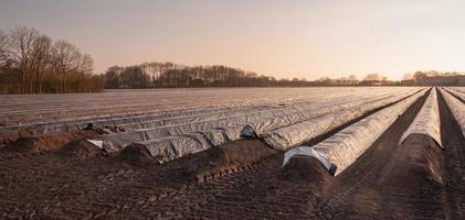 campo de espárragos en la luz solar de la tarde baja