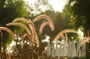 Pampas Grass photo