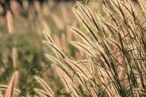 Flowering grass photo