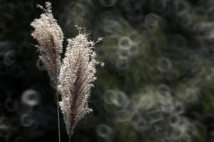 horsetail grass photo