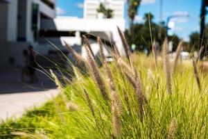 herbe de pampa le long