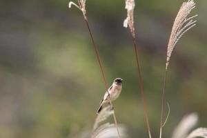 Stonechat on Japanese pampas grass