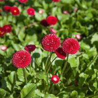 Sommer rote Blume