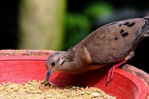 alimentación de paloma marrón foto