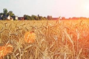 campo de trigo de verano foto