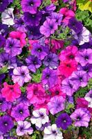 Purple summer petunias