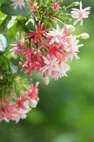 Marinero borracho o flor de enredadera de Rangoon. foto