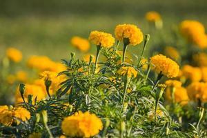 flor de caléndula foto