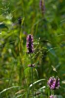 Purple betony (Stachys officinalis) in a forest closeup