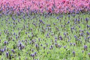 flores roxas de sálvia