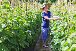 Woman in garden or farm with bean plants photo