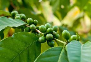 grains de café non mûrs.