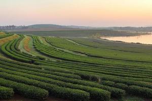paisaje de té foto