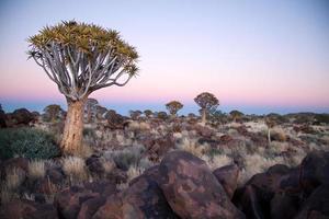 Quivertree landscape photo