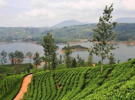 Landscape with tea plantations photo
