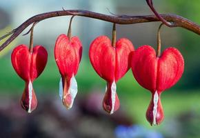 Red Bleeding Heart Flowers in a Row photo