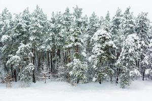 Winter forest background photo