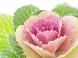Winter beautiful ornamental cabbage