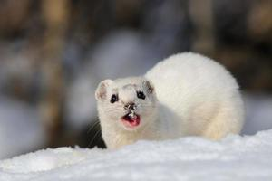 Winter Least Weasel eating