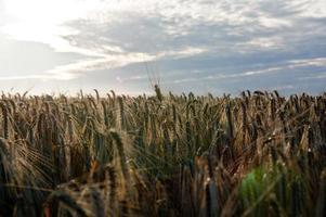 winter barley (Hordeum vulgare L.) photo
