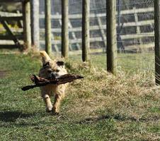 Running Terrier photo