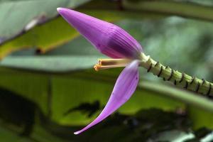 plátano floreciente