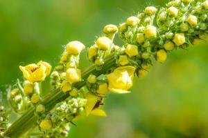 verbascum amarelo thapsus