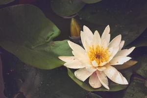Waterlily on lake