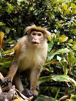 mono asiático en el árbol foto
